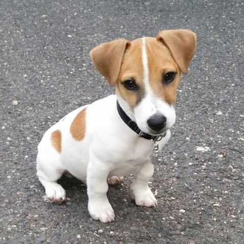 Zacky, Jack Russell Terrier                                                                                                                                                                                 Plus