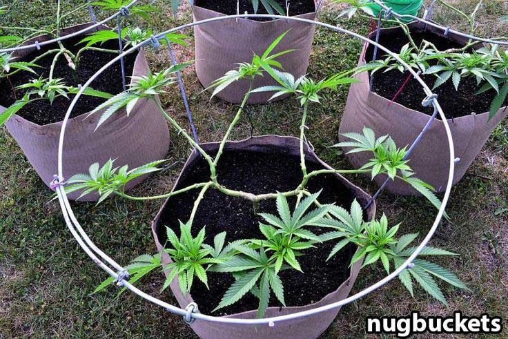 Pruned for 16 main colas - Picture by Nugbuckets