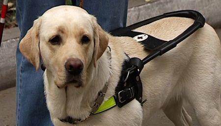 Источник: www.garant.ru Правительство РФ приняло решение внести изменения в действующие Правила обеспечения инвалидов собаками-проводниками (Постановление Правительства РФ от 3 февраля 2017 года №