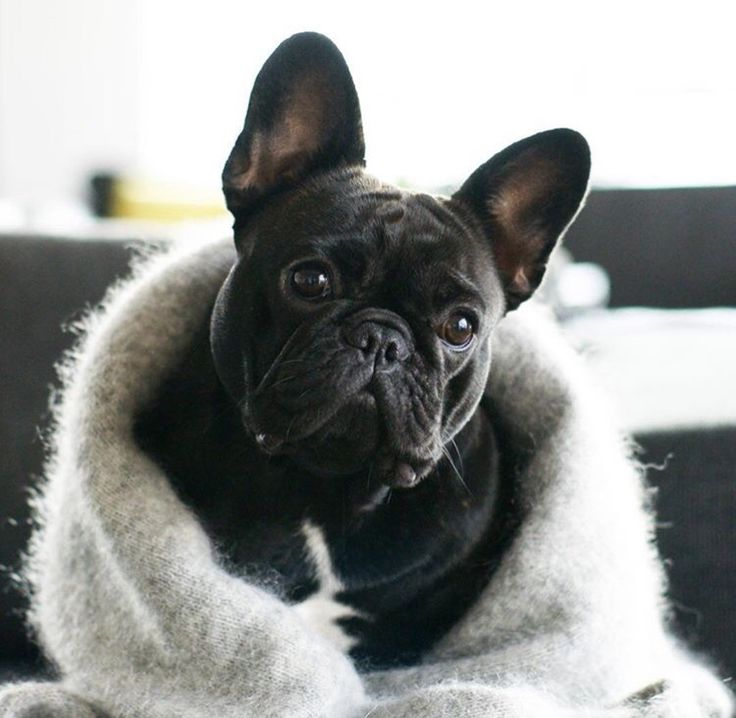 Sweater Weather, Nellie the French Bulldog Puppy #nellie #frenchie