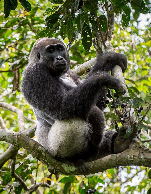 Tracking Lowland Gorillas in the Congo Basin at Odzala Wilderness Camps, by Wilderness Safaris.  http://www.glampinggetaway.com/directory/odzala-wilderness-camps/