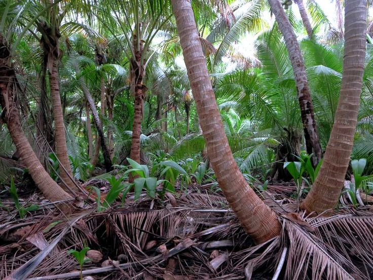 The interior of Direction Island, Cocos (Keeling) Islands, is thick with coconut trees.