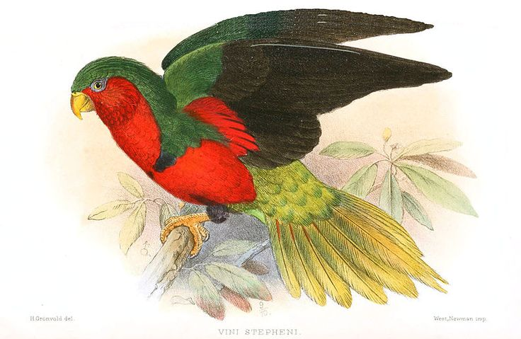 The Henderson lorikeet (Vini stepheni), also known as the Stephen's lorikeet, is a species of parrot in the family Psittacidae, endemic to Henderson Island.