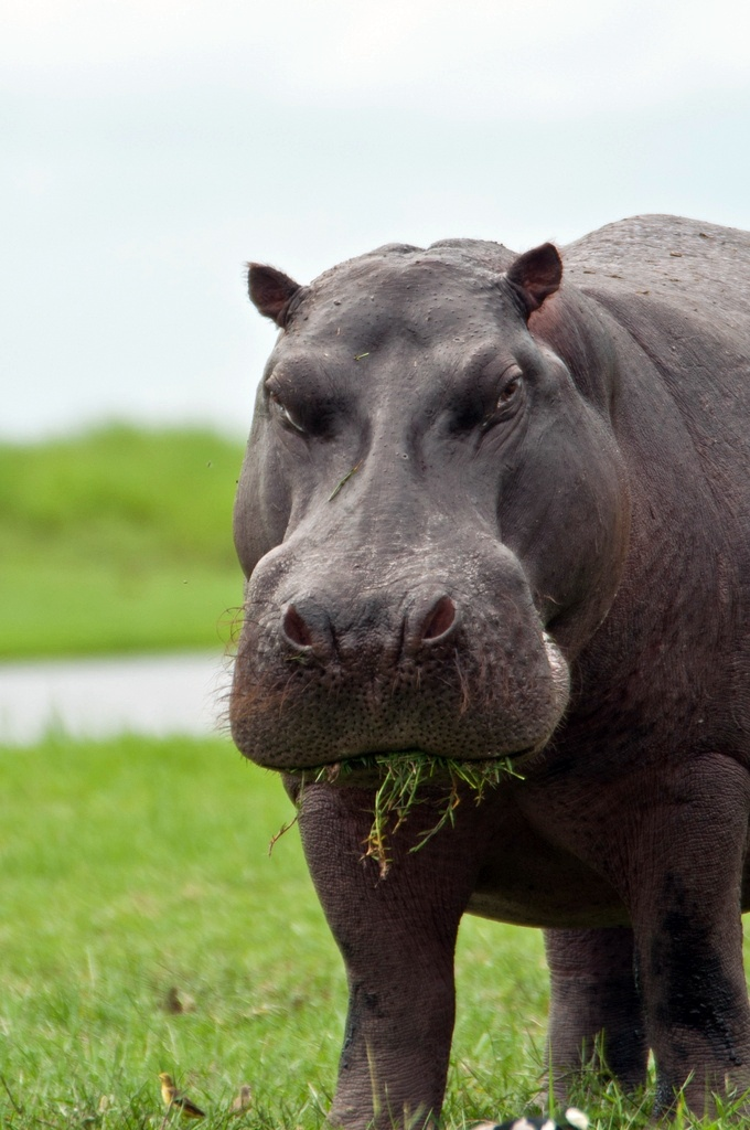 Hippo: looks either grump or like it's really enjoying that grass.