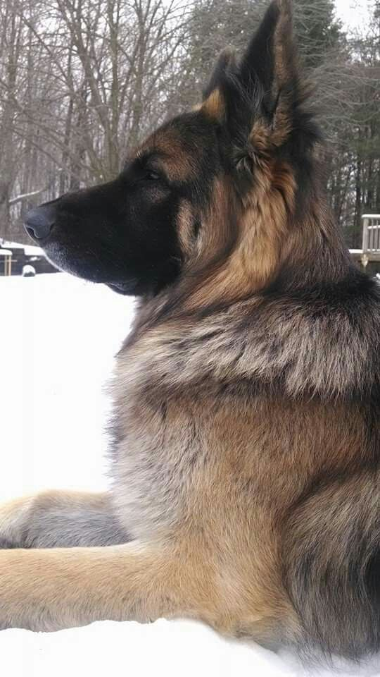 Stately German Shepherd Dog! It's so gorgeous, isn't it? They are wonderful working dogs, yet they make excellent family pets! I still miss ours, after decades.