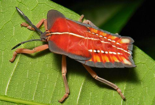 Lychee Stink Bug Nymph (Tessaratoma papillosa, Tessaratomidae)