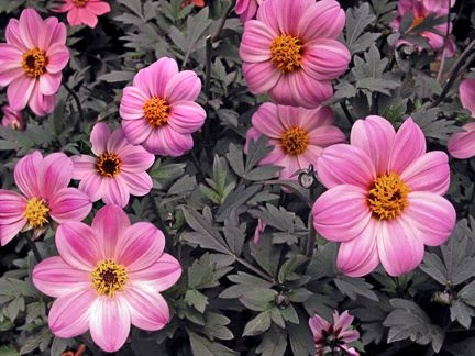 """Dahlia 'Kapow' - Almost too pretty to be real! Contrastic fabulosity with jewel-like 3"""" pinwheel pink blooms popping out from delectable rich, mahogany-black foliage."""