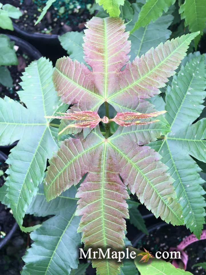 Acer elegantulum Rare Elegant Chinese Maple Tree