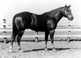 Wimpy. The first quarter horse registered in the American Quarter Horse Association when it was founded in 1940. Wimpy was the Grand Champion at the Fort Worth Fat Stock Show that year and was owned by the King Ranch.