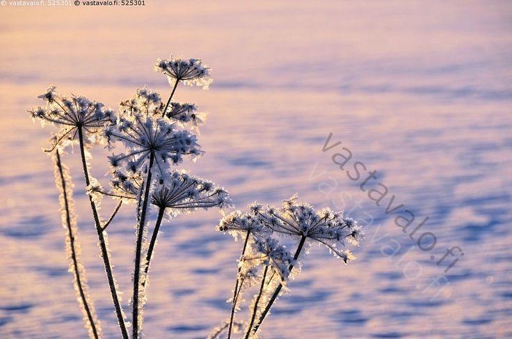 Pakkaspäivä tammikuussa - talventörröttäjä kuiva kuivunut kuurainen kukinto kasvi talvella aurinkoinen pakkaspäivä tammikuussa hanki auringonvalo kuura kuurankukka kuurainen kuuraiset kuurakide kuurakiteet talvi pakkanen talvipakkanen Liminka