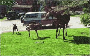 Baby mooses capering in a water sprinkler.  Moose are cool.