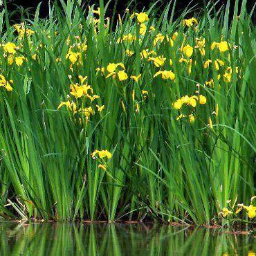 Mocsári nőszirom - Iris pseudoacorus