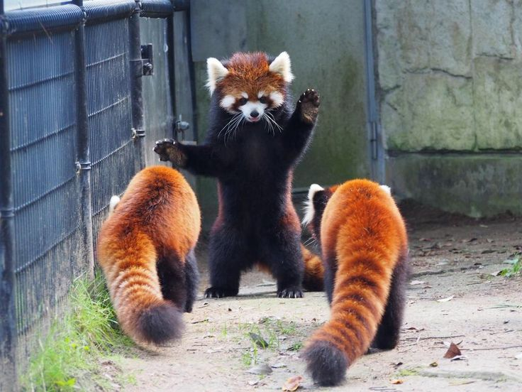 "red panda, ""I'm the leader now"""