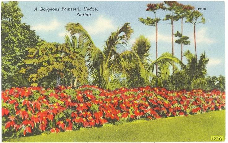 """""""Gorgeous Poinsettia Garden"""" vintage Florida postcard"""