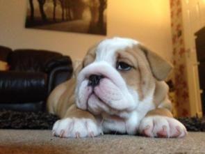Stunning pedigree English Bulldog puppies looking for forever homes.