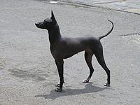 Estructura tipo de un perro peruano sin pelo de raza pura, talla grande