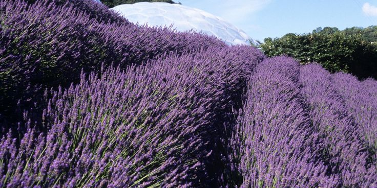 Lavender, Lavandula x intermedia 'Grosso', plant facts - Eden Project