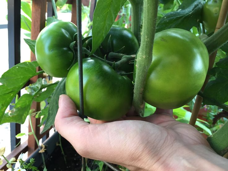 Container Tomato: Super Fantastic