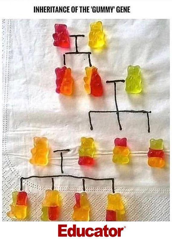 A Good Way To Show Your Kids How Genetic Inheritance Works By Using Gummy Bear Educator Teachers Biology Biology Teacher Humor Genetics