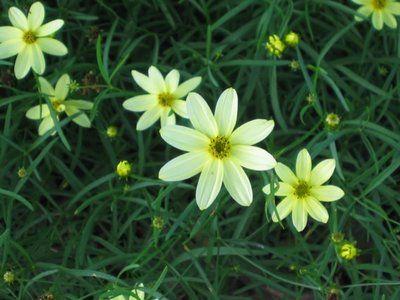 Threadleaf Coreopsis (or Tickseed, MoonBeam, Coreopsis Moon Beam)
