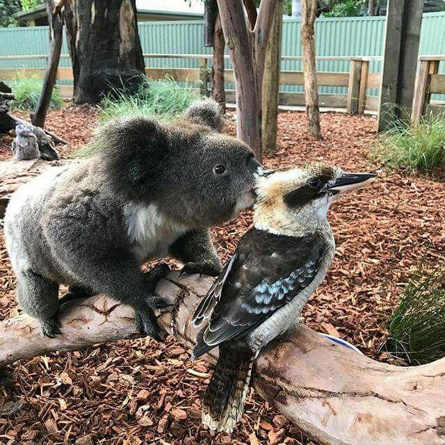 Australian Koala and Kookaburra