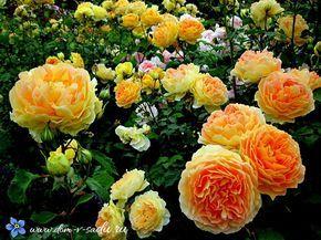 С ними сад будет просто обвит розами.