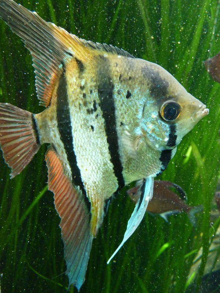 Les 37 meilleures images propos de animaux poisson eau for Poisson aquarium eau chaude