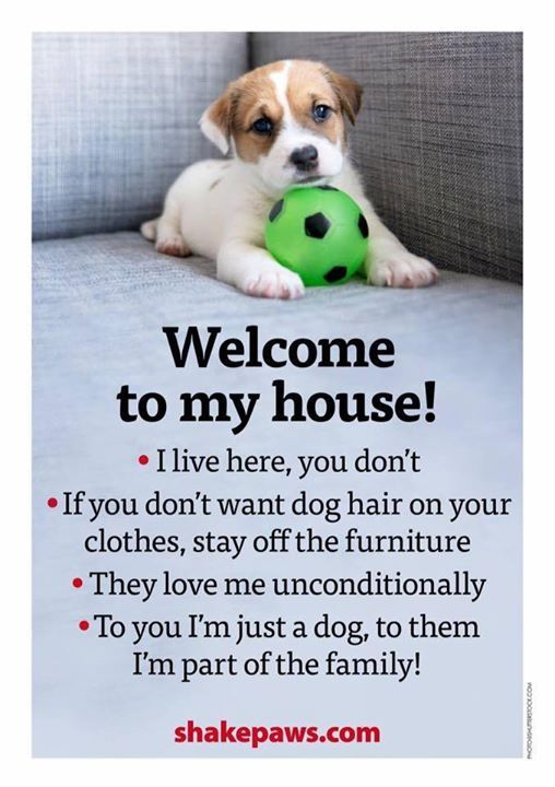 Jack Russell puppy explains the dog rules for guests!