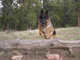 Training tip for GSD to walk with horse