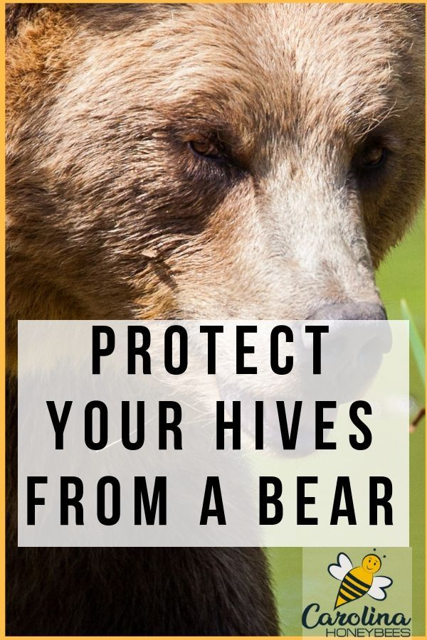 Using Electric Fences For Bears To Protect Your Bees Bee