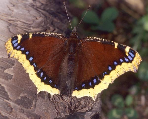 Photo of Nymphalis antiopa by Ian Lane