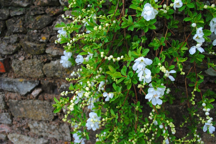 Loverly white creeper hanging over the dry stone wall