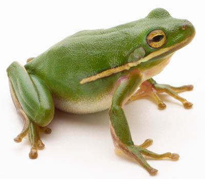 Green tree frog (Hylidae cinerea)