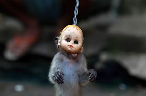 [VIDEO E PETIZIONE] Le agghiaccianti scimmie mascherate dell'Indonesia http://ow.ly/1mvGJQ