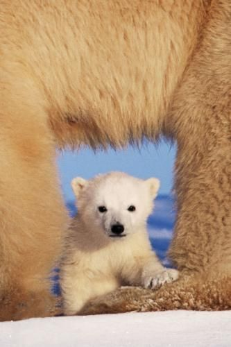 This isn't Humphrey (the Toronto Zoo baby polar bear) but this is a great shot!