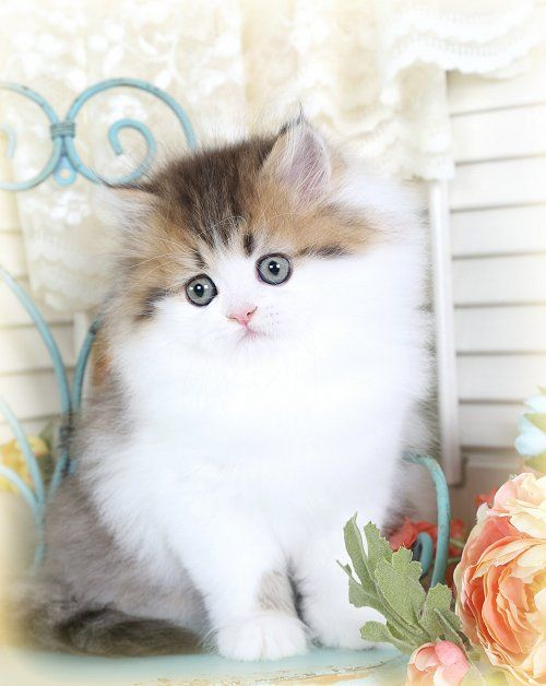 Past KittensUltra Rare Persian Kittens For Sale – (660) 292-2222 – Located in Northern Missouri (Shipping Available)