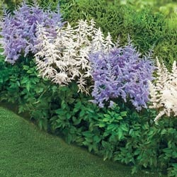 shade loving astilbe border this perennial grows to zones and grows in sun or partial shade - Flower Garden Ideas Partial Sun