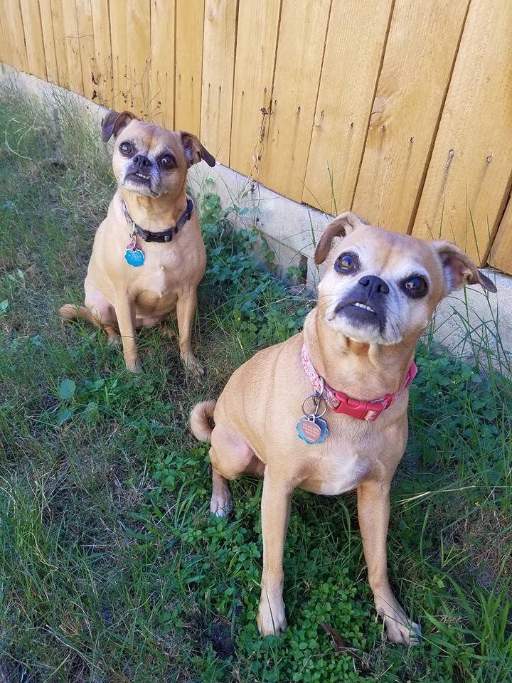 Chug dog for Adoption in Von Ormy, TX. ADN-398975 on PuppyFinder.com Gender: Female. Age: Adult