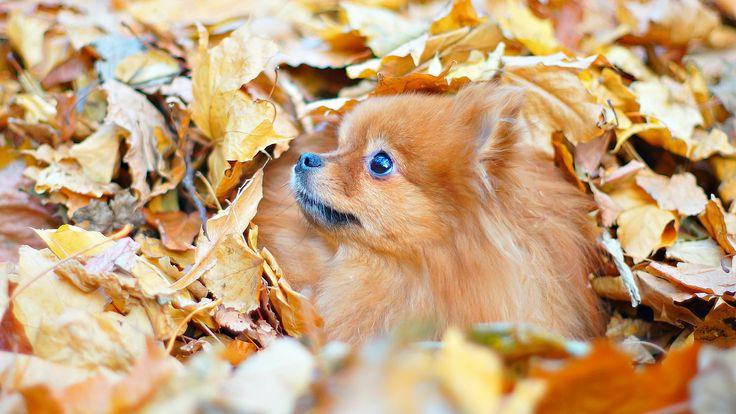 Autumn Dog/ MiniSpitz. Pomeranian