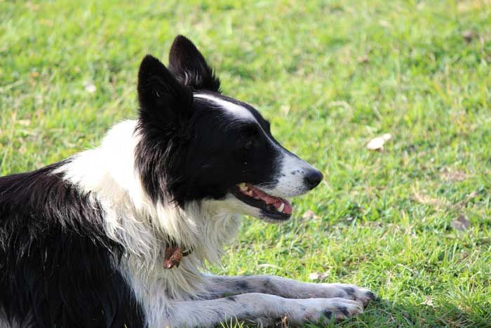 Working Border Collie Old Mill Panda is working sheep on Parer's War its premiere screening at 8.30pm on Sunday April 27 on ABC1.