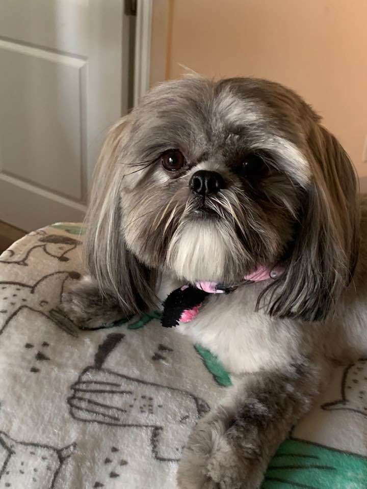 Shih Tzu Beauty In 2020 Shih Tzu Puppy Puppies Puppy Find