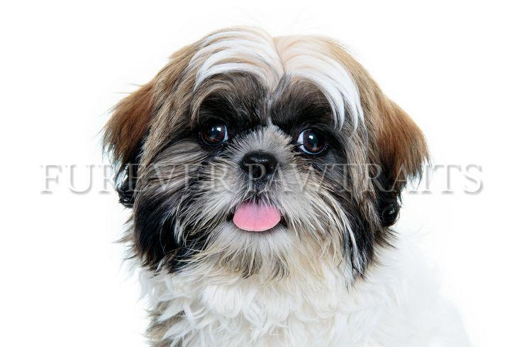 Heidi the Shih Tzu  Perth Pet Photographer - Furever Pawtraits  Photographer: Robbie Goodall