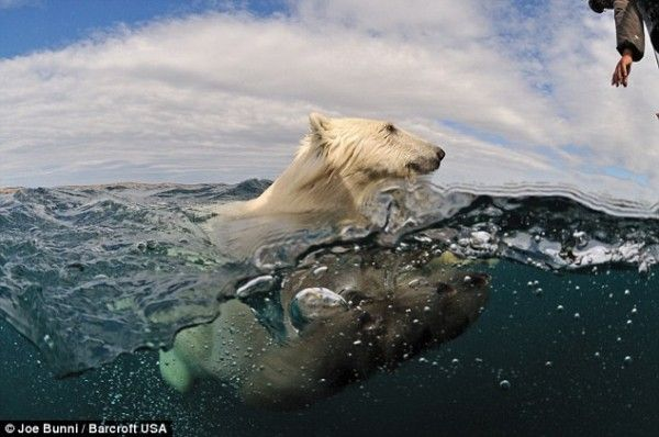 polar bear half submerged