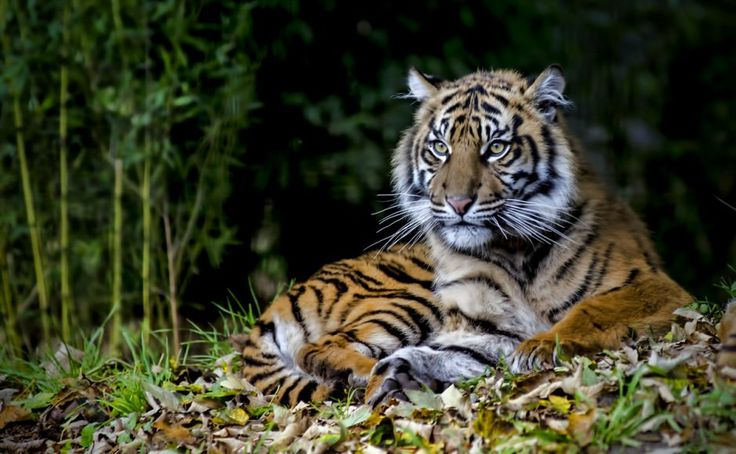 'A NEW scientific paper has highlighted rising numbers of critically endangered tigers in a national park on Indonesia's Sumatra island as the result of establishing an Intensive Protection Zone.' - Max Walden   Rising Sumatran tiger numbers show impact of protection efforts: