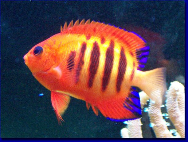 Flame Angel Fish Scientific Name: Centropyge loriculus