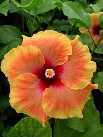 Hibiscus 'Tahitian Amber'