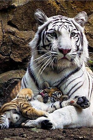 ❧ Wild cats – Les félins ❧ Tigre blanc