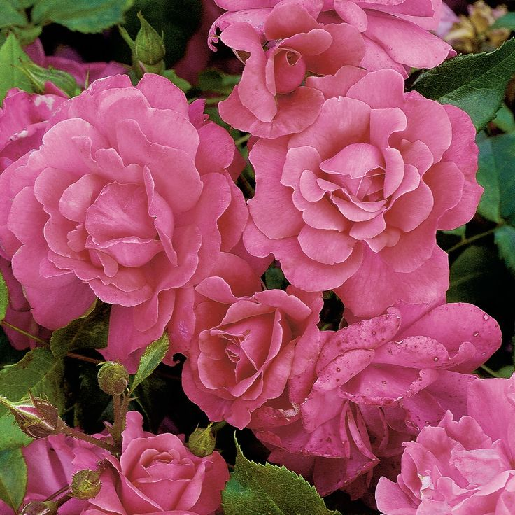 Rosa Graciously Pink  - Rose - Dobbies Garden Centres