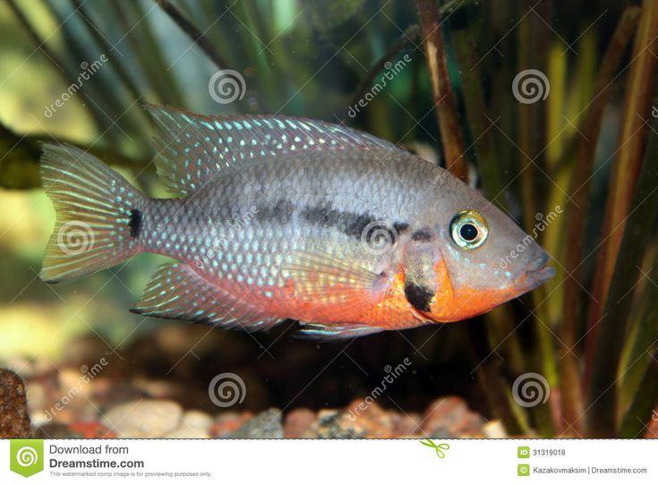 Freshwater Cichlids | Firemouth cichlid (Thorichthys meeki) freshwater aquarium fish.