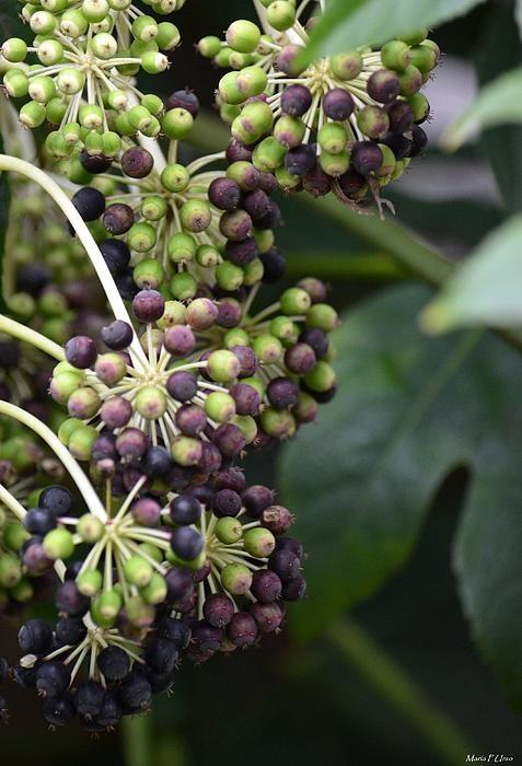 Hedera Helix Berries - tegen achterschuttingHedera Helix Berries